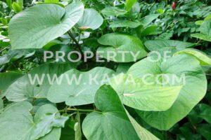 Awa Kava Plant